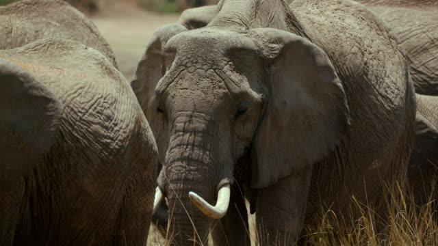 vídeos y material grabado en eventos de stock de african elephant head & tusks maasai mara  kenya  africa - reserva nacional de masai mara