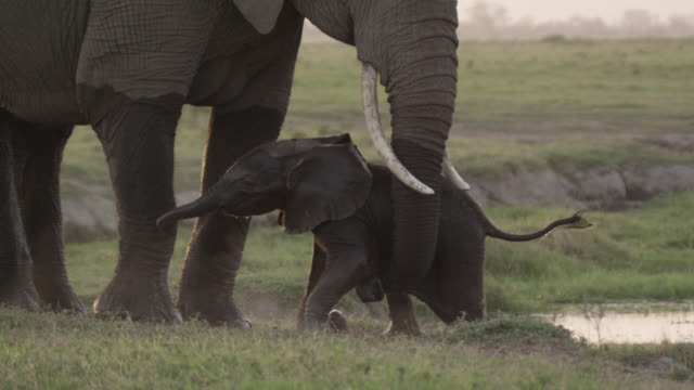 african elephant (loxodonta africana) helps baby to climb out of waterhole, kenya - elephant stock videos & royalty-free footage