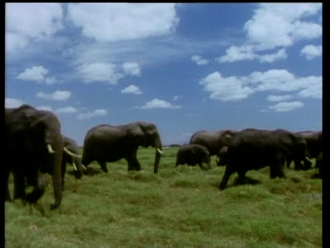African elephant herd walk on lush grass past camera under blue sky and fluffy clouds
