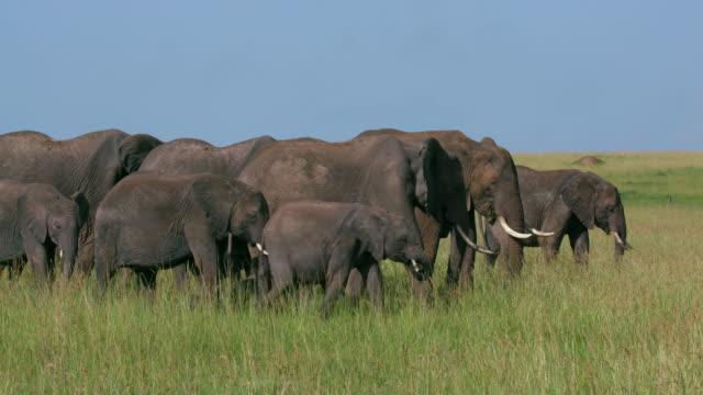 stockvideo's en b-roll-footage met african elephant herd walking, masai mara, kenya, africa - olifant
