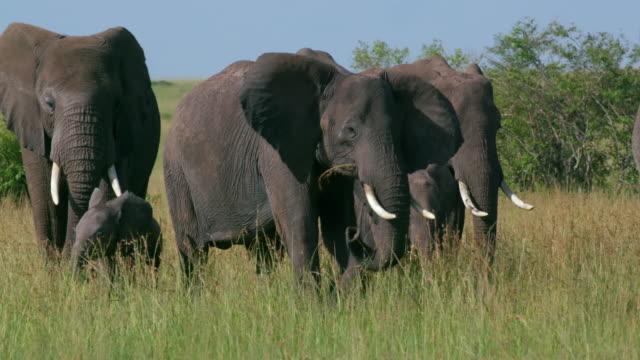 vídeos y material grabado en eventos de stock de african elephant herd walking, masai mara, kenya, africa - reserva nacional de masai mara