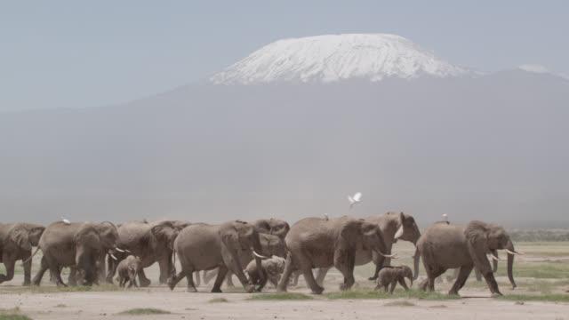 african elephant (loxodonta africana) herd walks on savannah, kenya - egret stock videos & royalty-free footage