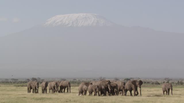 stockvideo's en b-roll-footage met african elephant (loxodonta africana) herd walks past mount kilimanjaro, kenya - olifant