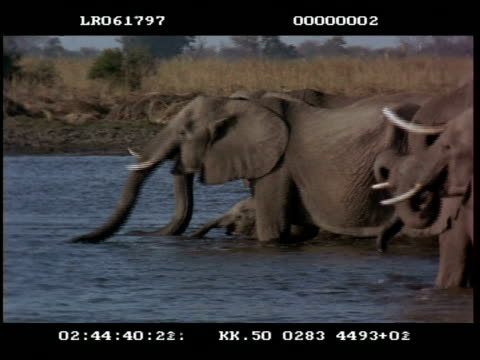 vidéos et rushes de ms african elephant (loxodonta africana) herd with young wading & drinking. - nez d'animal