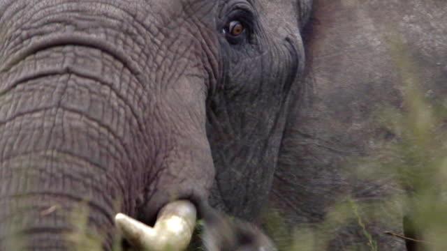 African elephant (Loxodonta africana) in bushes, Aberdare, Kenya