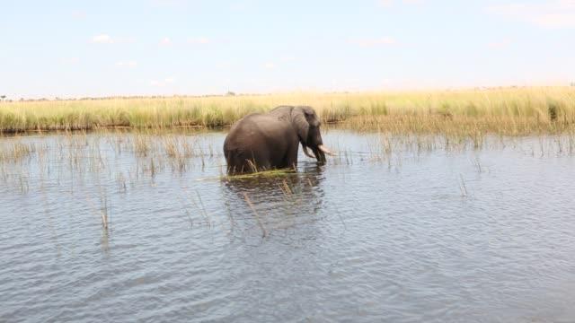vídeos y material grabado en eventos de stock de african elephant in the okavango delta, botswana - delta de okavango
