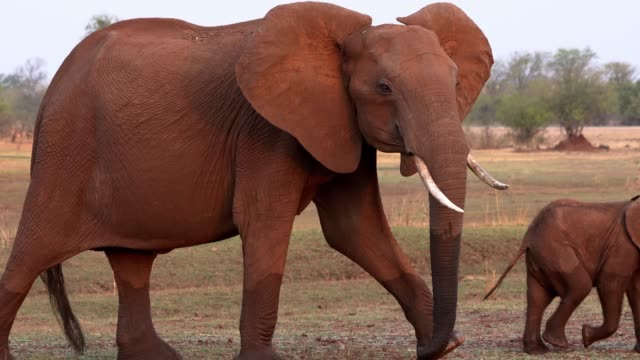 african elephant, lake kariba, zimbabwe - zimbabwe stock videos and b-roll footage