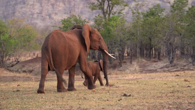 african elephant, lake kariba, zimbabwe - repubblica dello zimbabwe video stock e b–roll