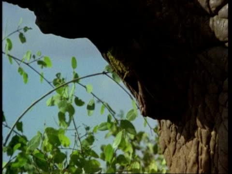 CU African Elephant, Loxodonta africana, defecating, Kenya