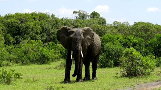 african elephant, loxodonta africana, masai mara national reserve, kenya, africa - elefant bildbanksvideor och videomaterial från bakom kulisserna