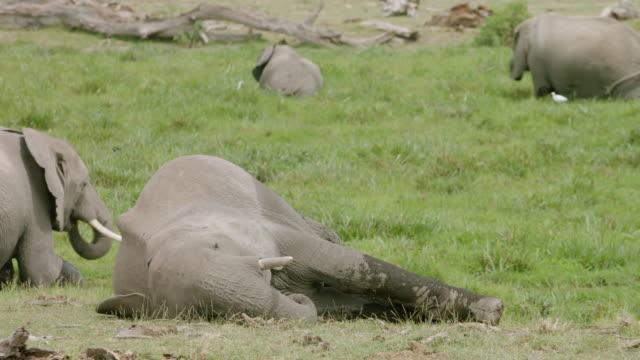 ms african elephant lying down on savanna landscape / kenya - ゾウ点の映像素材/bロール