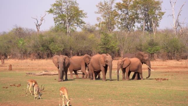 african elephant - mana pools, zimbabwe - zimbabwe stock videos and b-roll footage