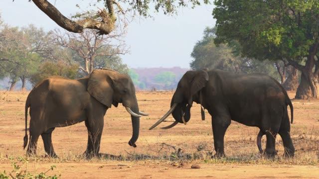 african elephant - mana pools, zimbabwe - repubblica dello zimbabwe video stock e b–roll