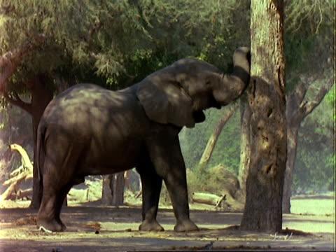 african elephant (loxodonta africana), mcu elephant pushes acacia albida tree with trunk, pods fall to the ground - 厚皮動物点の映像素材/bロール