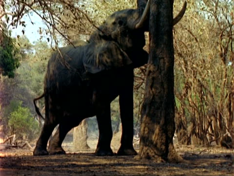 african elephant (loxodonta africana), mcu elephant pushing acacia albida tree with head, pods fall to ground - 厚皮動物点の映像素材/bロール