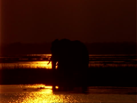 African Elephant (Loxodonta africana), MCU silhouette of elephant standing in shallow water at dusk