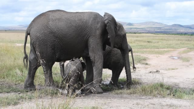 african elephant mother  and a very young calf - animal attribute stock videos and b-roll footage