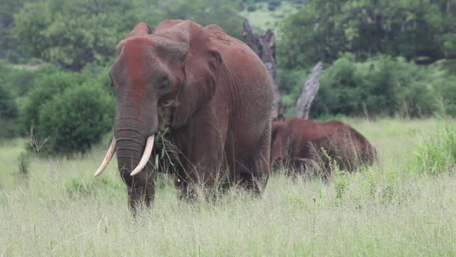 vidéos et rushes de african elephant- mother and yoyng covered with red dust, eating grass and flapping ears - éléphanteau