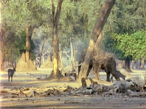 african elephant (loxodonta africana), mwa walks right to left past trees and antelopes - 厚皮動物点の映像素材/bロール