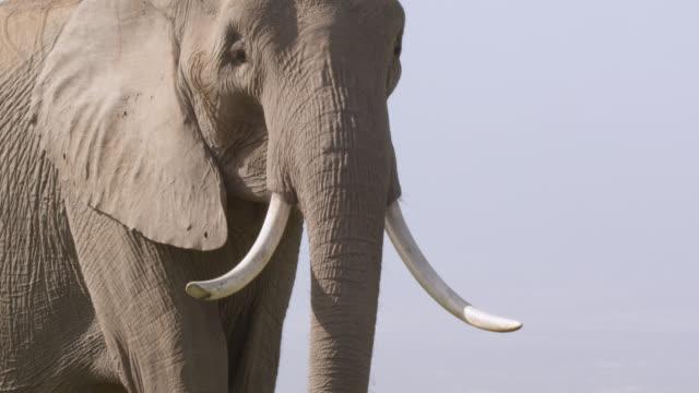 African elephant (Loxodonta africana) on savannah, Kenya