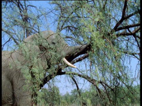 African elephant pulls down acacia branch, Masai Mara