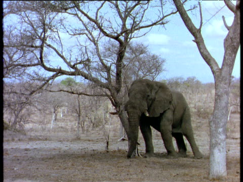 African elephant pushes and fells acacia tree in savanna.