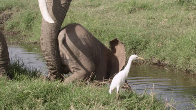 African elephant (Loxodonta africana) pushes baby into waterhole, Kenya