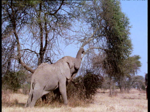 african elephant pushes down acacia tree with trunk - elephant stock videos & royalty-free footage