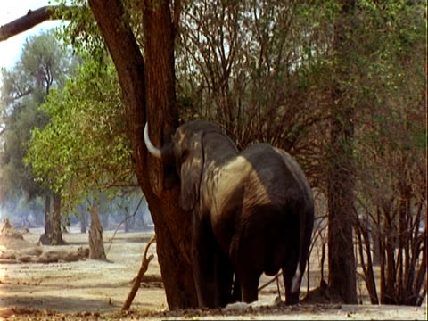 african elephant (loxodonta africana), ms pushes tree with trunk, acacia pods fall to ground - 厚皮動物点の映像素材/bロール