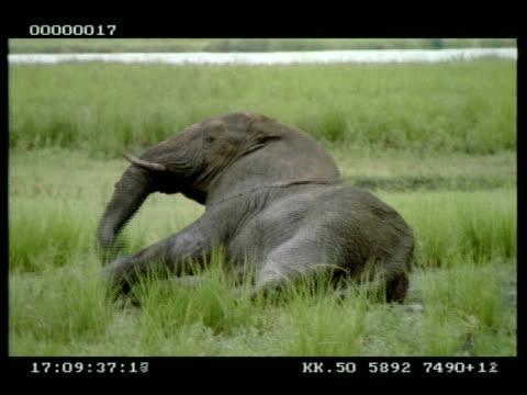 ms african elephant (loxodonta africana) rolling in mud - mud stock videos & royalty-free footage