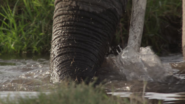 african elephant (loxodonta africana) splashes trunk into waterhole, kenya - taking a bath stock videos & royalty-free footage