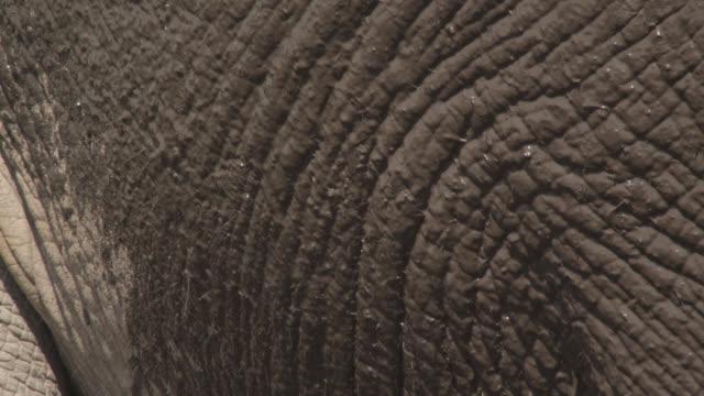 African elephant (Loxodonta africana) sprays mud on its flank, Kenya