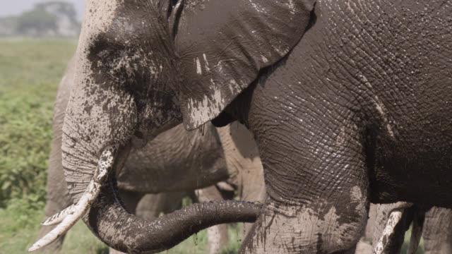 African elephant (Loxodonta africana) sprays mud on itself, Kenya