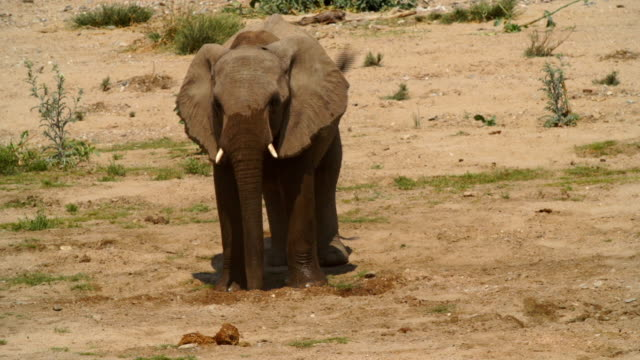MS African Elephant standing in desert / Namibia