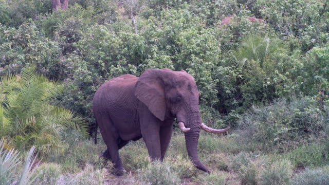 WS African elephant (Loxodonta africana) standing in savannah / Kruger National Park/ Mpumalanga/ South Africa