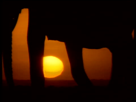 African elephant train made up of adults and calves walk past camera, silhouetted against low orange sunset on distant horizon, Africa