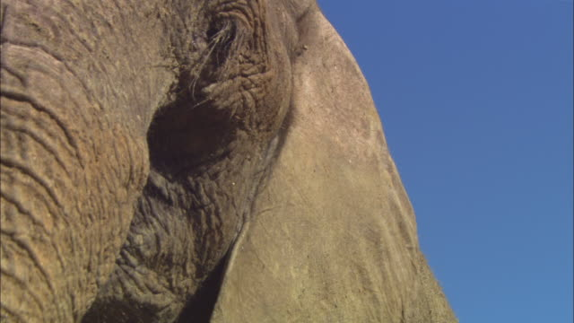 CU TU African elephant very close to camera from feet to eye