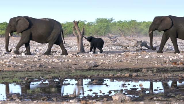vídeos y material grabado en eventos de stock de elefante africano - desierto del kalahari