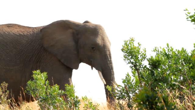 vidéos et rushes de african elephant - petit groupe d'animaux
