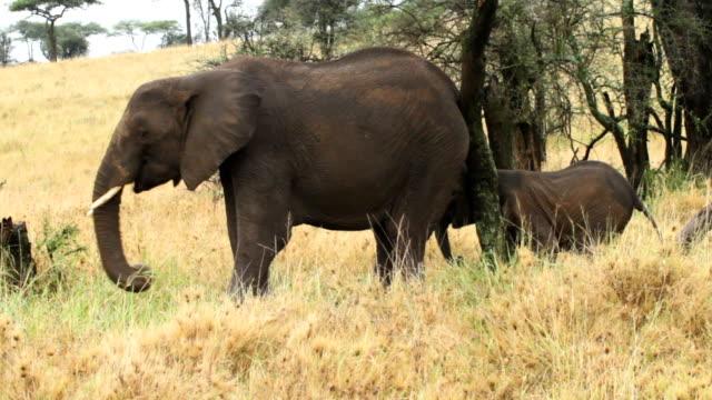 african elephant - ゾウ点の映像素材/bロール