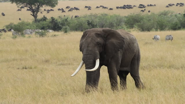 African Elephant-  walking in open yellow savannah, big herd of Wildebeest in the back