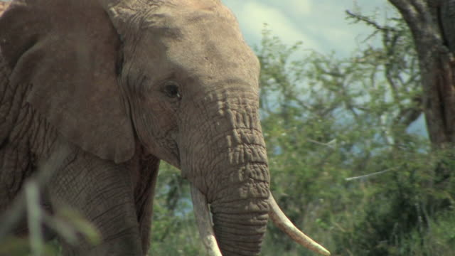 CU, TD, African elephant (Loxodonta africana) walking in savanna, Laikipia, Kenya