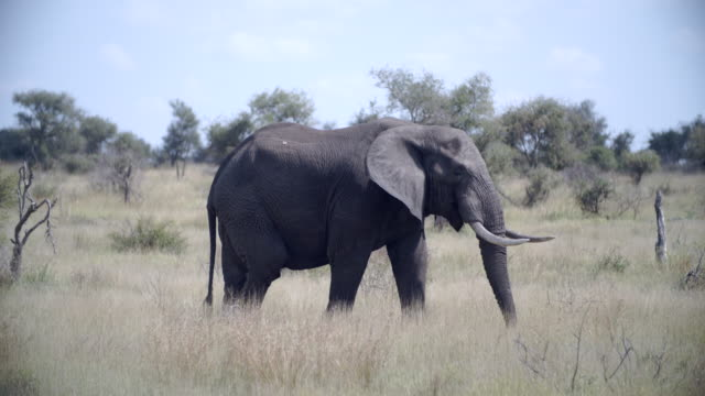 ms ts african elephant (loxodonta africana) walking in savannah / kruger national park/ mpumalanga/ south africa - elephant stock videos & royalty-free footage