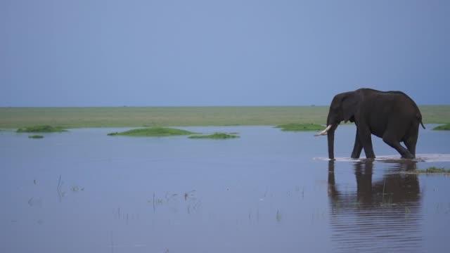 African elephant walking in water