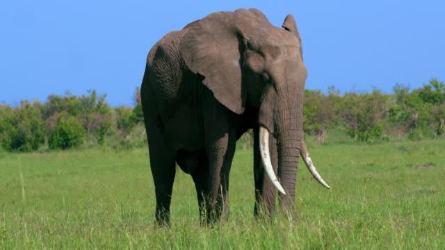 African Elephant Walking Maasai Mara, Kenya, Africa