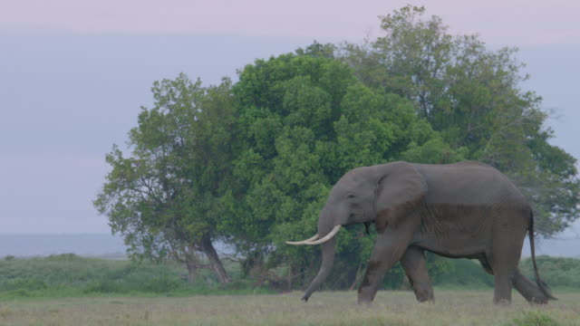 MS TS African Elephant walking on savanna landscape, tree in background / Africa