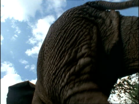 african elephant, cu walks overhead away from camera, kenya, africa - animal abdomen stock videos and b-roll footage