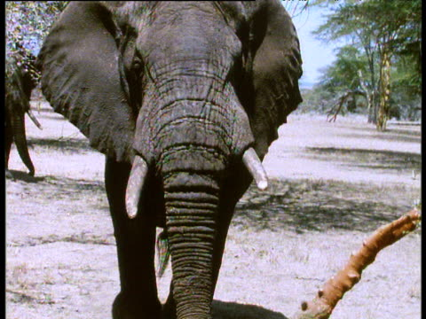 African elephant walks towards camera on savanna, Africa