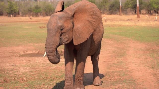 african elephant, zimbabwe - ゾウ点の映像素材/bロール
