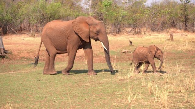 african elephant, zimbabwe - zimbabwe stock videos and b-roll footage